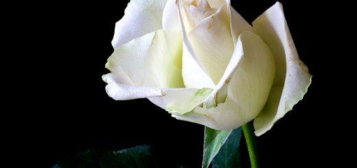 Coltivo una rosa bianca - José Marti